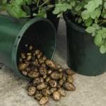 Patio-Potato-buckets