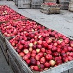 apples+in+bushel+bins.jpg.pagespeed.ce_.ReJzZc85yN-300x215